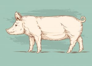 Pig visual