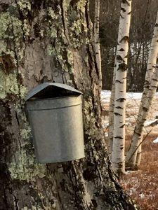 Maple Tree Bucket