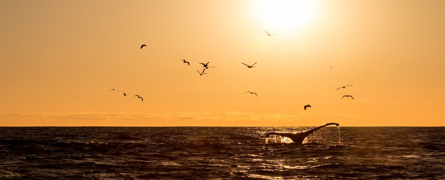 Whale and birds at sunset